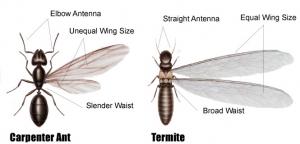 carpenter ant or termite